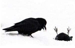 Korppien hauskanpitoa, peuhaamista ja temmellystä tuoreessa lumessa.